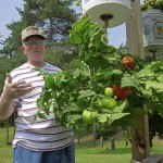 How to Plant and Grow Tomatoes